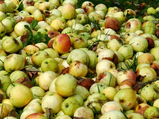 Pile of unused apples going to waste