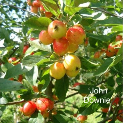 Nova Scotia native Locally grown 'John Downie' apple tree from Maple Grove Nurseries