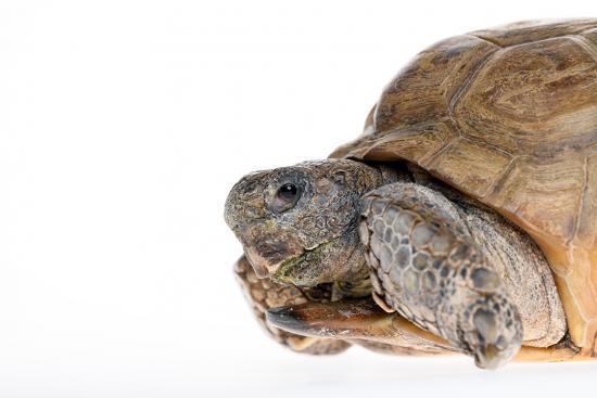 Gus the Gopher Tortoise